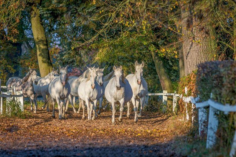 Kladruby stud - horses